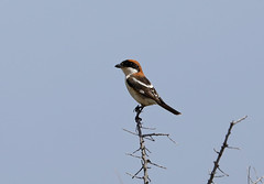 Woodchat Shrike --- Lanius senator (creaturesnapper) Tags: tavira portugal europe birds shrikes woodchatshrike laniussenator