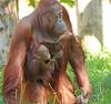 orangutan Samboja and Indah Apenheul BB2A1199 (j.a.kok) Tags: orangutan orangoetan orang animal aap ape asia azie mammal monkey mensaap motherandchild moederenkind primaat primate zoogdier dier apenheul samboja indah