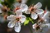 Spring Flower (Karabelso) Tags: white flower blossom petals spring trees macro panasonic lumix gx7 weis blume blüte blütenblatt baum makro