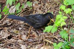 Common Blackbird (jamescastle) Tags: luxembourg europe bird avian passeriformes turdidae turdus thrush urbanwildlife chordate animal wildlife