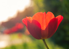 Red Tulip (Margeaux Nicholas) Tags: backlit bokeh evening flower garden green love red spring translucent tulip tulips valentine neighbourhood neighborhood soft dreamy blooming haze