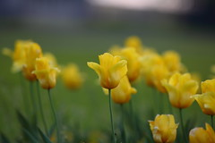 yellow (Barry Miller _ Bazz) Tags: outdoorphotography 300mmf28llens 5d3 bed widnes victoriapark canon flowers yellows tulips