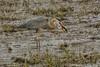 What a catch (ChicagoBob46) Tags: greatblueheron blueheron heron bird westerntigersalamander salamander yellowstone yellowstonenationalpark nature wildlife coth5 ngc