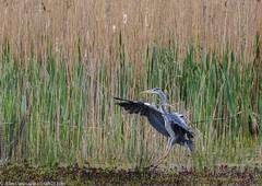 9Q6A2497 (2) (Alinbidford) Tags: alancurtis alinbidford brandonmarsh greyheron nature wildbirds wildlife