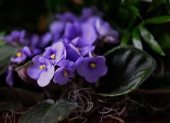 Les violettes africaines de Juliette (bd168) Tags: flowers plant bleue blue africanviolets violettesafricaines closeups grosplan détails details xt10 xf50mmf2rwr