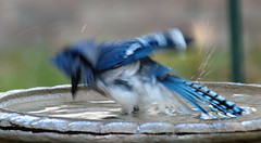 It's Getting A Bit Rowdy (Kaptured by Kala) Tags: bluejay birdbath bathing splashing waterdrops wetfeathers garlandtexas cyanocittacristata jay splash blur enthusiasm