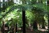 0111 (irenelevin1) Tags: rotorua whakarewaforest fougères