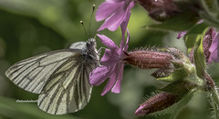 Green-veined White butterfly Pieris napi (stevenbailey7) Tags: butterflies insects flower flowers insect white countryside tamton walk new macro closeup nature fauna flora spring springtime redcampion pierisnapi light