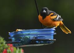 DSC_0264 (Ogedn) Tags: baltimore oriole bird male spring feeder orange wildlife