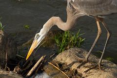IMG_7572 Great Blue Heron (cmsheehyjr) Tags: cmsheehy colemansheehy nature wildlife bird heron greatblueheron floodwall richmond virginia ardeaherodias jamesriver