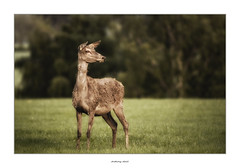 On the look out (AnthonyCNeill) Tags: deer animal outdoor lone alone english countryside tier nature eyecatcher doe