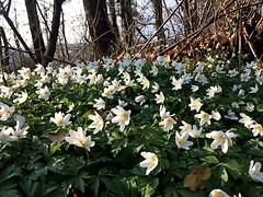 Il risveglio! (fata_ci) Tags: fiori bosco primavera natura nature