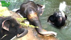 One hard elephant rescue attempt from a canal (THE WILD ELEPHANT) Tags: huge elephant rescue video youtube quite baby funny kids videos the wild wildlife news tv