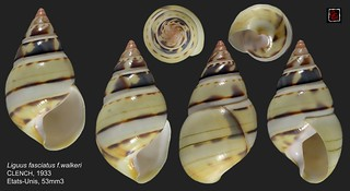 liguus fasciatus walkeri etats unis 53mm3