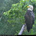 Smoky Mountain Eagle thumbnail