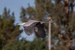 gliding (jimmy_racoon) Tags: canon 400mm f56l 5d mk2 lakeside park birds flight great blue heron bif arizona bird prime soaring tucson waterfall canon400mmf56l canon5dmk2 lakesidepark birdsinflight greatblueheron