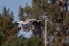 gliding (jimmy_racoon) Tags: canon 400mm f56l 5d mk2 lakeside park birds flight great blue heron bif arizona bird prime soaring tucson waterfall canon400mmf56l canon5dmk2 lakesidepark birdsinflight greatblueheron