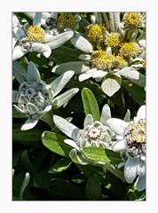 Edelweiss (overthemoon) Tags: switzerland suisse schweiz svizzera romandie vaud lausanne botanicalgarden jardinbotanique flowers edelweiss leontopodiumnivale
