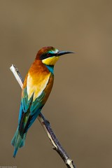 20mai18_23_prigorii prundu 23 (Valentin Groza) Tags: prigorie prigorii bee eater merops apiaster romania summer bird flight bif birdwatching outdoor