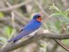 Barn Swallow (Corine Bliek) Tags: hirundorustica vogel vogels birds bird nature natuur wildlife swallows zwaluwen blue blauw colourful kleurrijk summer zomer