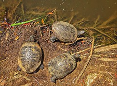 Turtle triple texture (Pejasar) Tags: reptile zoosofnorthamerica oklahoma zoo tulsa sticks water textures triple trio three turtles