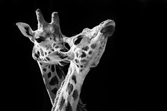 Affection (VisualTheatrics) Tags: animal animals animalportrait canon canon750d monochrome mono mood moody minimal minimalism lowkey giraffe dslr detail digitalphotography day daytime blackandwhite beautiful beauty bnw dailylife art