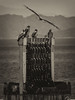 KITES 海辺のトンビ (Sign-Z) Tags: nikon d7200 18300mmf3556gvr kite bird monochrome 鳥 トンビ 鳶 海 sea
