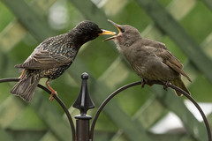 STARLING FEEDING JUVENILE (_jypictures) Tags: animalphotography animals animal canon canon7d canonphotography wildlife wildlifephotography wiltshire nature naturephotography photography pictures birdphotography bird birds birdwatching birding birdingphotography birders ukwildlife ukbirding ukbirds starling juvenile