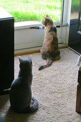 Millie and Gracie 4 May 2018 9243Ri 4x6 (edgarandron - Busy!) Tags: cat cats kitty kitties tabby tabbies cute feline gracie patchedtabby millie graytabby
