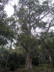 Eucalyptus sp (Baractus) Tags: eucalyptus gum mountainvalley tasmania australia john oates inala nature tours