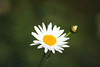 Daisy flowers (ekaterina alexander) Tags: daisy flower flowers spring bellis ekaterina alexander nature photography pictures england sussex