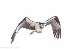 Cruising (rdroniuk) Tags: birds birdsofprey raptors osprey ospreys pandionhaliaetus oiseaux oiseauxdeproie rapaces balbuzardpêcheur