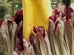 P4240500 (ejewett87) Tags: macro corpse plant