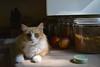 Jimmy with apples (rootcrop54) Tags: jimmy orange ginger tabby male longhair longhaired paws apples kitchen counter neko macska kedi 猫 kočka kissa γάτα köttur kucing gatto 고양이 kaķis katė katt katze katzen kot кошка mačka gatos maček kitteh chat ネコ