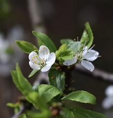 Blossom White (MJ Harbey) Tags: plant flower leaves ashridgeestate nationaltrust nikon d3300 nikond3300 blossom whiteblossom hertfordshire ringshall
