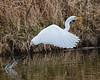 Graceful... (ragtops2000) Tags: egret great migrating white beautiful poetry graceful flight flying liftoff water lake spring seasonal magestic nature wildlife detail