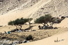 _DSC4454 a ( Nubia, Where Camels Get Some Rest ) 2018 (Hazem Abdelrahman Photography) Tags: nubia egypt desert sand trees camels landscape landscapephotography