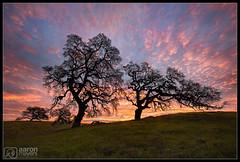 Arrest that Sunrise [Explored] (Aaron M Photo) Tags: 2017 aaronmeyersphotography arastradero arastraderopreserve bayarea california d700 february nikon nikond700 oak oaktree paloalto sunrise escaype green hills spring tree