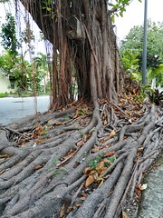 Some cool roots of a tree near where we stayed in Miami.
