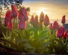 Colorful spring sunrise (Martin Bärtges) Tags: naturephotography naturfotografie blossoms pflanzen blüten blumen flowers nikon frühlingsgrus frühl spring farbenfroh colorful rot red tulpen tulips nature sonnenschein sonnenaufgang sonne sunshine sunrise sun