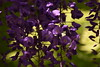 Favor the fresh green (k-o-m-a-n-e-k-o) Tags: nikon d750 wisteria 藤 tree leaf 白 紫 木 葉 花 flower purple green