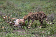 Sunday lunch anyone? (Ring a Ding Ding) Tags: acinonyxjubatus africa bigcat ndutu nomad serengeti tanzania action bokeh cat cheetah dragging feeding kill nature predator safari survival wildcat wildlife arusharegion flickrbigcats coth