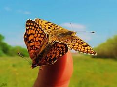 mélitée papillon x2 (danie _m_) Tags: naturepic butterflies beautiful insects macro animals lovenature colorful countryside nature papillon campagne