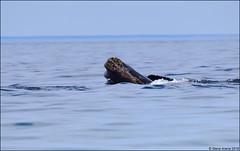 North Atlantic Right Whale (Eubalaena glacialis) (Steve Arena) Tags: racepoint provincetown barnstablecounty massachusetts nikon d750 bird birds birding nature cetacean rightwhale whale northatlanticrightwhale eubalaenaglacialis baleenwhale baleen 2018