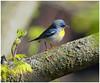 Northern Parula (Sun~Lover) Tags: warbler nothernparula spring migration illinois setophagaamericana newworldwarbler parulidae blue yellow explore 2018