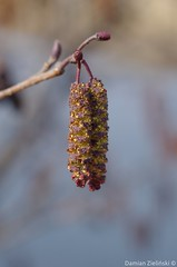 Alnus glutinosa catkin (damianziel) Tags: pentax old oldlens vintagelens vintage manual manualfocus nature natural natur naturallight 50mm fifty smcpa50mmf17 dof depthoffield flora naturephotography frühling spring wiosna bokeh