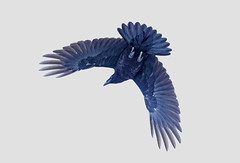 Crow at Mt Whistler . . . (Clement Tang **busy**) Tags: crow corvus birdwatcher inflight drizzle snow nature nationalgeographic concordians closetonature closeup macrophotography travel mtwhistler vancouver canada summer backlit britishcolumbia avian wildlife