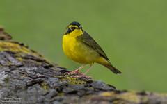 Kentucky warbler (salmoteb@rogers.com) Tags: bird wild outdoor nature wildlife songbird perch kentucky warbler