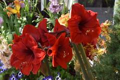 Amaryllis (Manoo Mistry) Tags: nikon nikond5500 tamron tamron18270mmzoomlens botanicalgarden birminghambotanicalgarden flowers colour fragrance amaryllis
