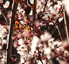 Plum Tree 20160222 (caligula1995) Tags: 2016 blossoms flowers leaves plumtree